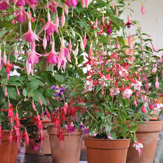 A photo some fuchsias