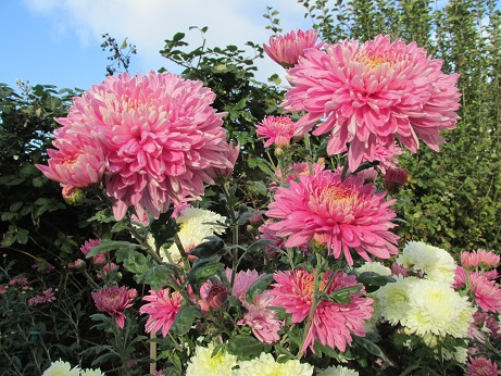 Chrysanths