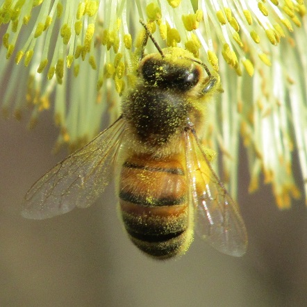 A bee covered in pollen