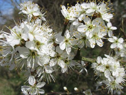 Blackthornflowers