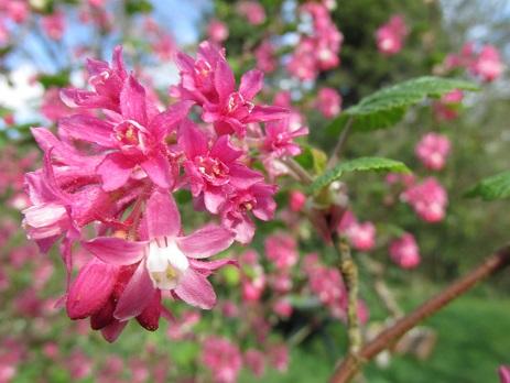 Floweringcurrant