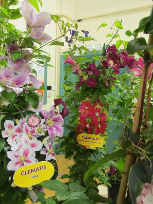 Clematis on display
