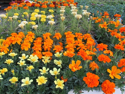 Some marigolds for sale