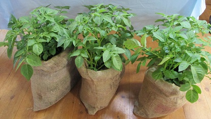 Potatoes growing in sacks