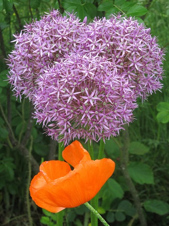 Allium and poppy
