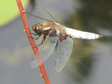 A dragonfly