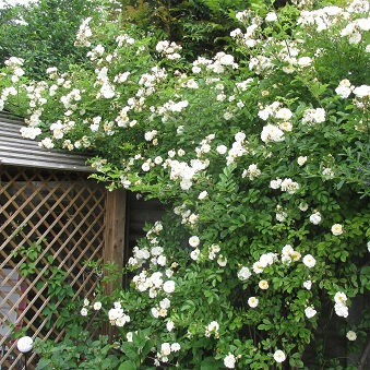 A white climbing rose