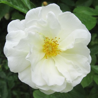 A white rose - close up