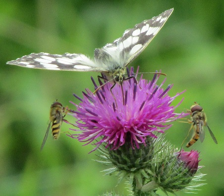 A marbled white butterfly on a thistle with two hover flies