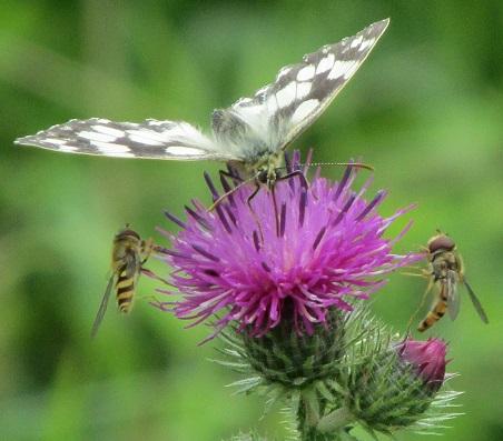 Butterfliers