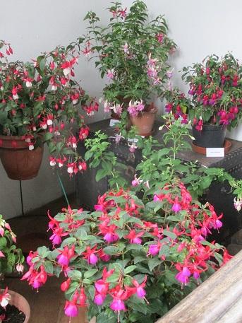 Fuchsia show