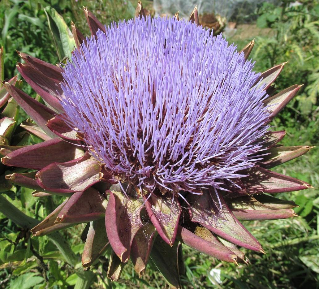 A globe artichoke in flower