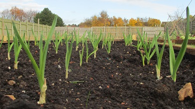 A bed of winter onions