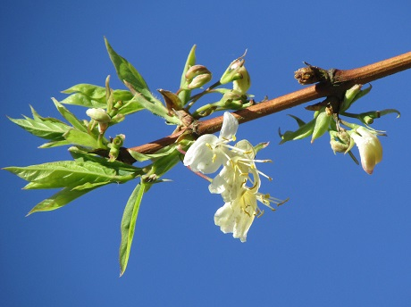 Early spring blossom emerging against a clear blue sky
