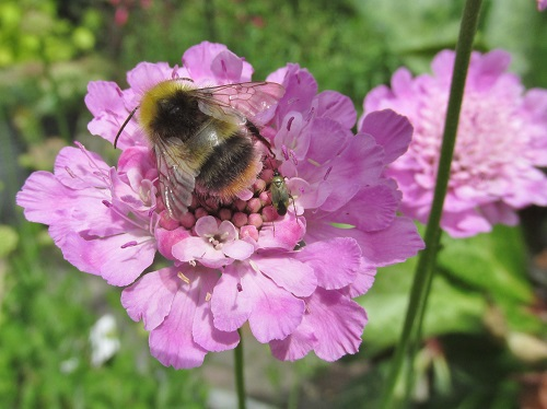 A pink flower with a bee and a small insect
