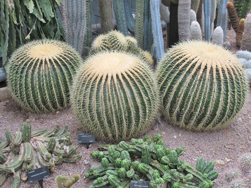 Echinocactus Grusonii or Golden Barrel Cactus with its dense spines
