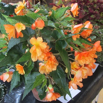 An orange flowered begonia