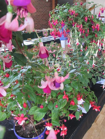 A display of fuchsias
