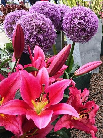 Lilium Jackpot in front of Allium Giganteum