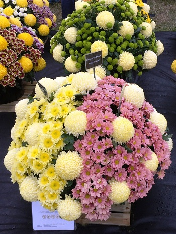 A display of pink, yellow and white Chrysanthemums.