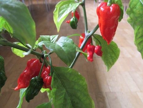 Chilli Challenge winner with red and green chillis attached