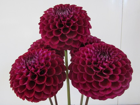 Five decorative dahlias in maroon