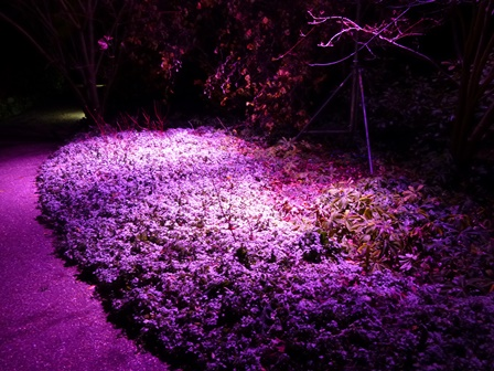 Winter lights at Anglesey Abbey - purple ground cover