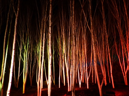 Winter lights at Anglesey Abbey - silver birches with bright white bark