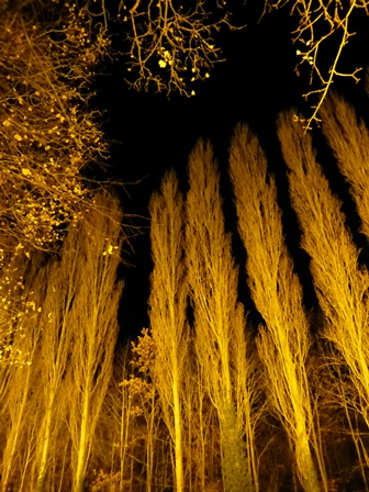 Winter lights at Anglesey Abbey - tall poplars lit in yellow