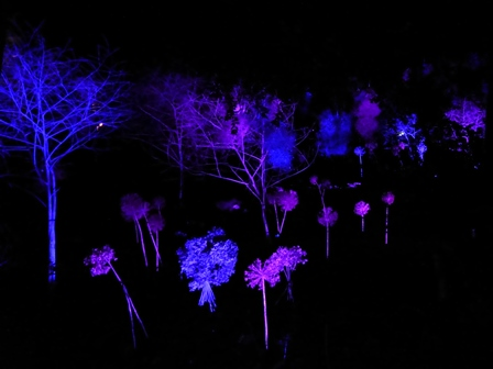 Winter lights at Anglesey Abbey - trees and shrubs lit in blue and magenta light