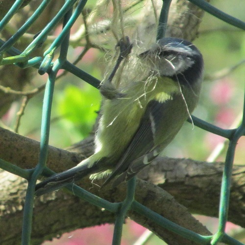 A blue tit collecting string for nesting
