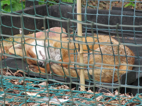 Fox fast asleep on compost heap