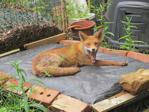 Fox yawning on compost heap