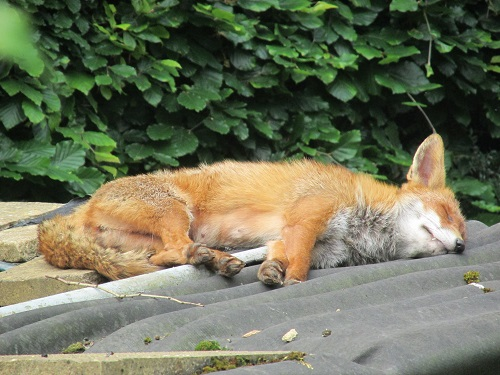 Fox fast asleep on shed roof