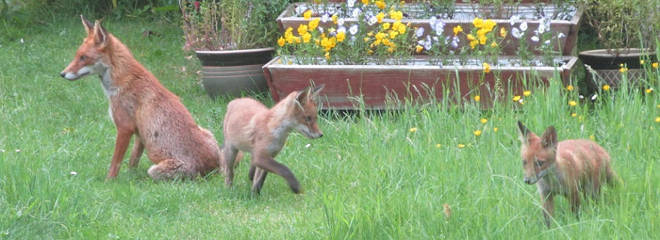 Fox mum with two cubs