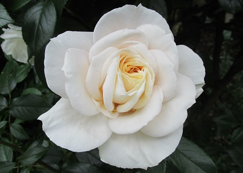 Letchworth Open Gardens – a white rose