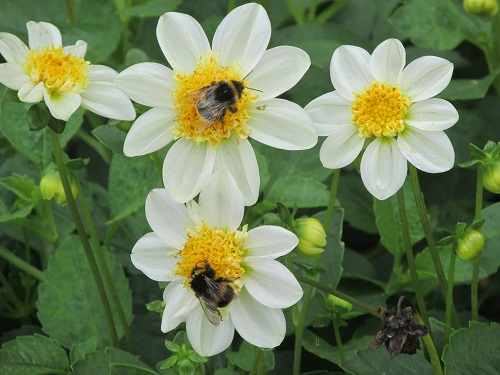 Bees on flowers at Sandringham