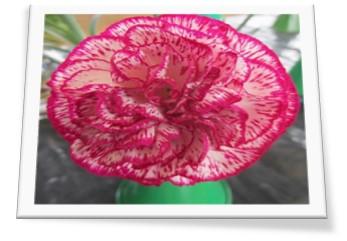 A carnation photo