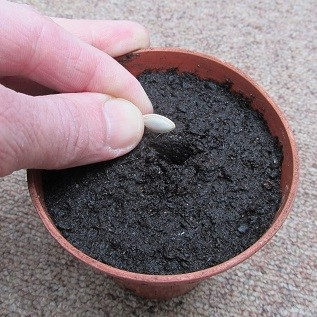 A courgette seed being sown