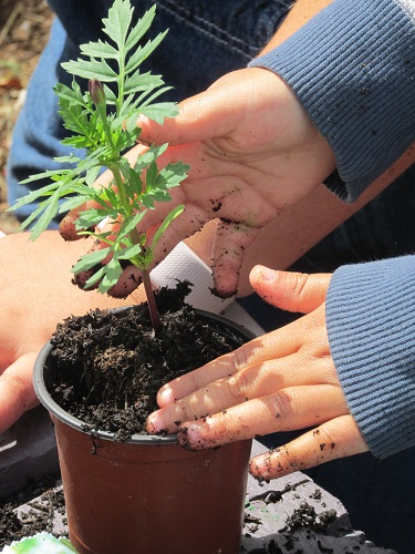 A marigold plant being potted on