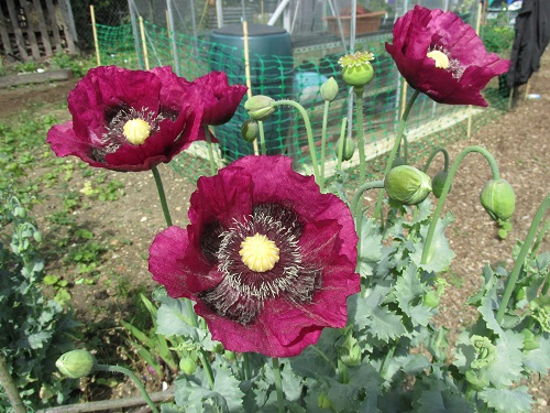 Maroon poppies