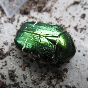 A dormant Rose Chafer beetle