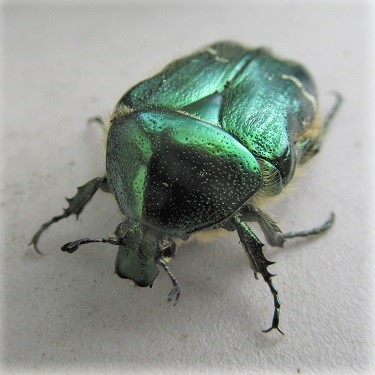 An active Rose Chafer beetle