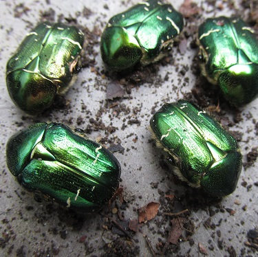Five dormant Rose Chafer beetles