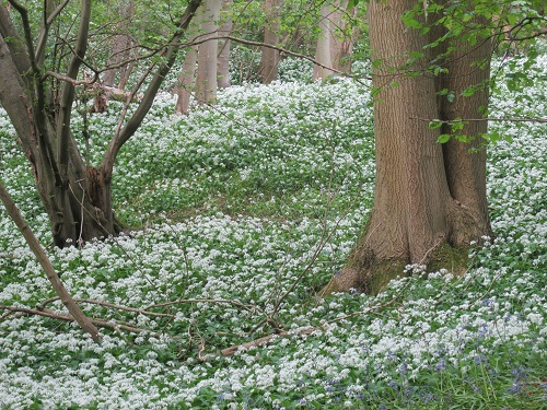 A patch of wild garlic