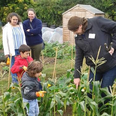 "Children harvesting sweetcorn"" width="