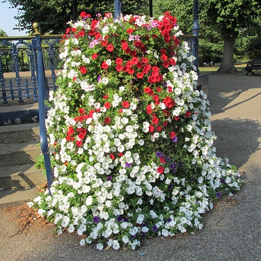 A very tall pot draped with red and white petunias