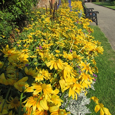 A border of yellow flowers
