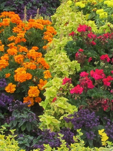 Orange marigolds and pink geraniums in the parterre
