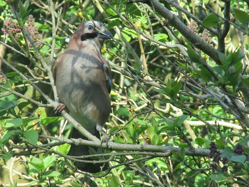 A Jay in a lilac tree with twigs in its beak